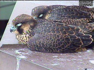 Hamilton resident Peregrine Falcons